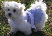 maltese puppies for x-mas